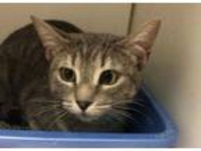 Adopt Gia a Gray or Blue Domestic Shorthair / Domestic Shorthair / Mixed cat in
