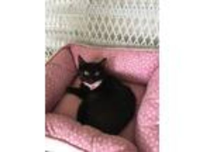 Adopt Kitty a Black (Mostly) Domestic Shorthair (short coat) cat in Metairie