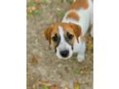 Adopt Jack a Great Pyrenees, Hound