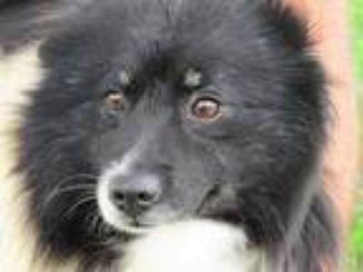 Adopt Fletcher a White - with Black Sheltie, Shetland Sheepdog / Mixed dog in