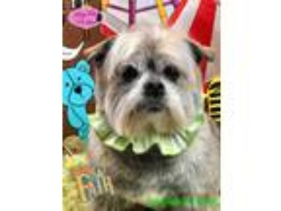 Adopt Roxy a White - with Tan, Yellow or Fawn Brussels Griffon / Shih Tzu /