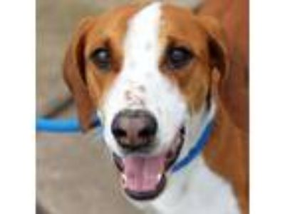 Adopt Wynonah a Red/Golden/Orange/Chestnut Hound (Unknown Type) / Mixed dog in