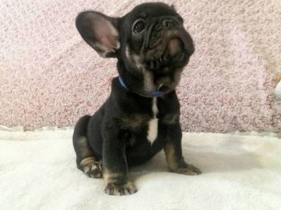 French Bulldog PUPPY FOR SALE ADN-79240 - Brindle Frenchie