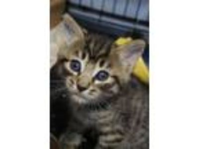 Adopt Kipling a Brown or Chocolate Domestic Shorthair cat in Half Moon Bay