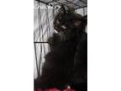 Adopt Checkers a All Black Domestic Mediumhair / Mixed cat in Oxford