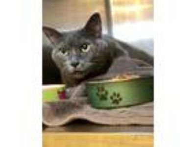 Adopt Felicity a Gray or Blue Domestic Shorthair / Domestic Shorthair / Mixed