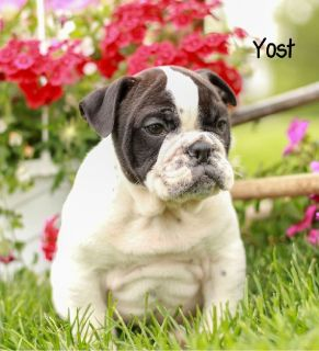 Yost Male English Bulldog Mix