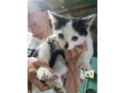 Adopt Breeze a White Domestic Shorthair / Domestic Shorthair / Mixed cat in
