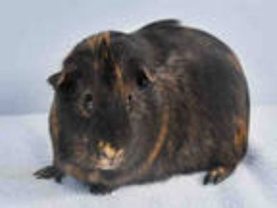 Adopt SNUGGLES a Black Guinea Pig / Mixed small animal in Loveland
