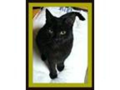 Adopt Parker was Holden a Domestic Shorthair / Mixed (short coat) cat in Valley