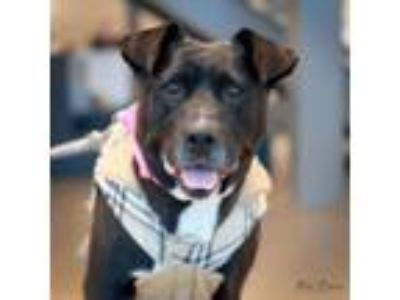 Adopt Princess a Retriever, Pit Bull Terrier