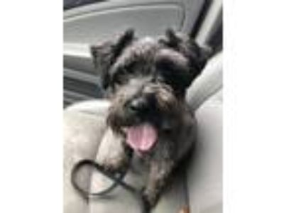 Adopt Maxwell a Miniature Schnauzer / Mixed dog in Bowmansville, NY (25904576)