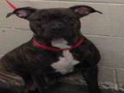 Adopt KANGA a Pit Bull Terrier, Mixed Breed