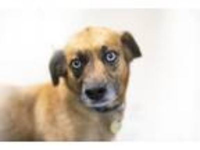 Adopt Callie a Catahoula Leopard Dog / Mixed dog in Mountain Home, AR (25550350)