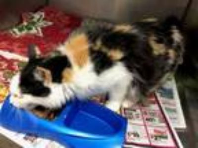 Adopt Melanie a Domestic Short Hair