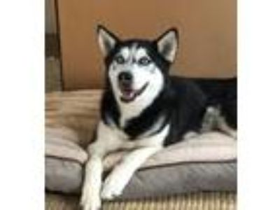 Adopt Milo a Husky / Siberian Husky / Mixed dog in Dana Point, CA (25587260)