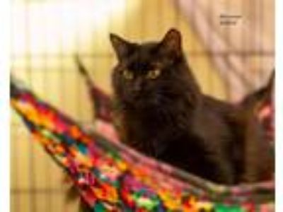 Adopt McLester a Domestic Short Hair
