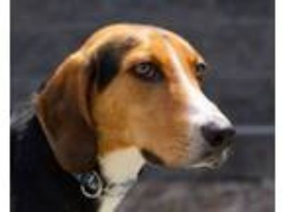 Adopt TANGO a Hound, Mixed Breed