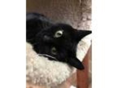 Adopt Betty Jo a All Black Domestic Shorthair / Domestic Shorthair / Mixed cat