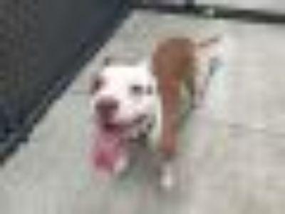 Roscoe Pit Bull Terrier Dog