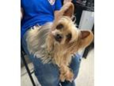 Adopt RESCUE ONLY - Meyoko a Yorkshire Terrier