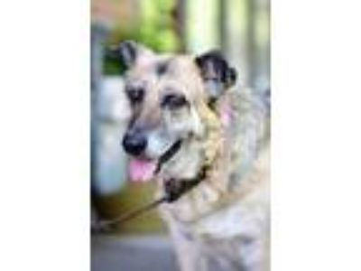 Adopt Betty a Black - with Tan, Yellow or Fawn German Shepherd Dog / Mixed dog