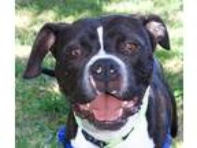 Adopt Kanga a Boxer / American Pit Bull Terrier / Mixed dog in Oakland
