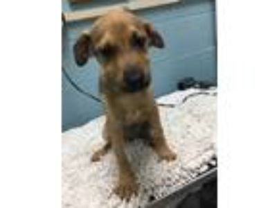 Adopt Miley a Tan/Yellow/Fawn Labrador Retriever / Mixed dog in Orangeburg