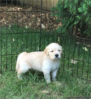 Charming Golden Retriever Puppies For Sale