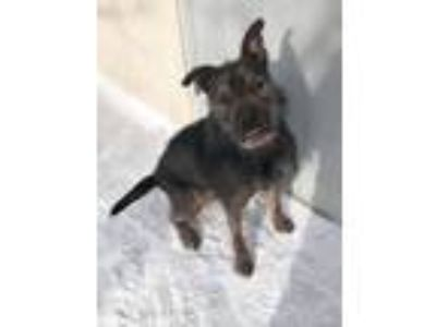 Adopt Mo a German Shepherd Dog, Schnauzer