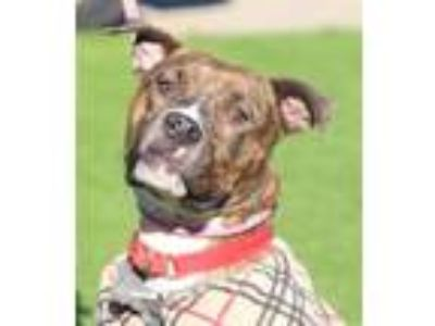 Adopt Willow a American Staffordshire Terrier