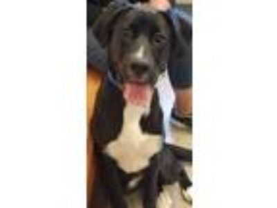 Adopt THEA a Labrador Retriever, Collie