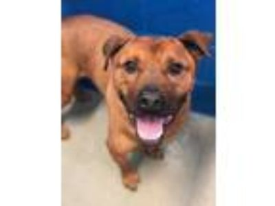 Adopt MAX a Brown/Chocolate American Pit Bull Terrier / Mixed dog in Newport