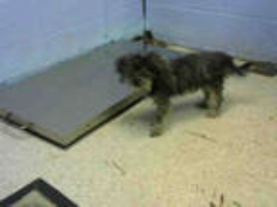 Adopt CANARY a Gray/Silver/Salt & Pepper - with White Shih Tzu / Mixed dog in