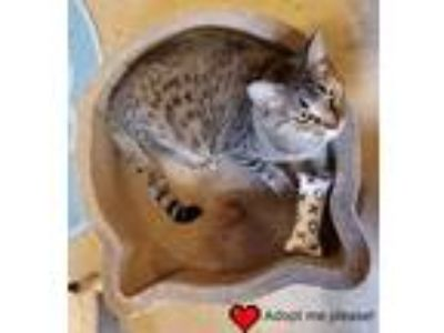 Adopt Gnomeo a Brown Tabby Domestic Shorthair / Mixed (short coat) cat in