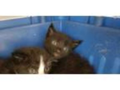 Adopt ARCHIE a All Black Domestic Shorthair / Mixed (short coat) cat in Fort
