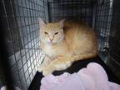 Adopt UBER a Orange or Red Domestic Shorthair / Mixed (short coat) cat in