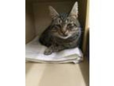 Adopt Woody a Domestic Short Hair