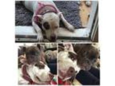 Adopt Penny a Pit Bull Terrier