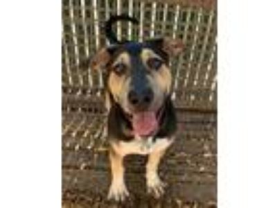 Adopt BRANDON a Black - with Tan, Yellow or Fawn German Shepherd Dog /
