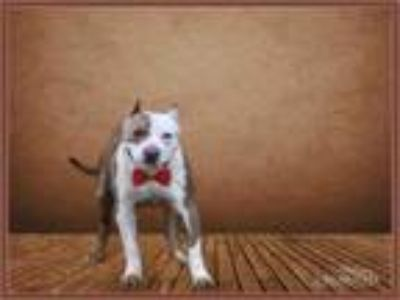 Adopt JERRY a Pit Bull Terrier