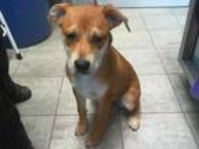 Adopt ABERDEEN a Tan/Yellow/Fawn - with White Mastiff / Mixed dog in Grand