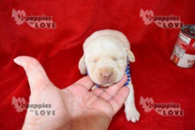 Labrador Retriever PUPPY FOR SALE ADN-103163 - AKC  FULL REGISTRATION