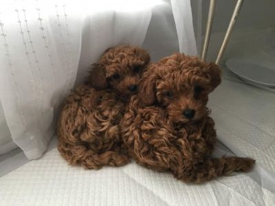 Sweetest Toy Poodle puppies