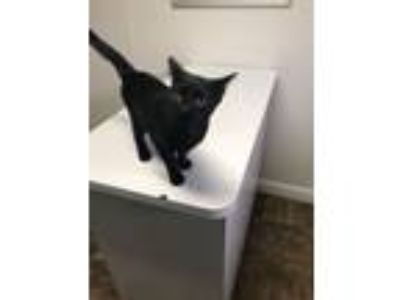 Adopt Barracuda a Domestic Short Hair