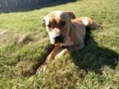 Adopt Phoebe a Tan/Yellow/Fawn - with White Shar Pei / Pit Bull Terrier dog in