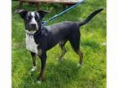 Adopt Clyde a Labrador Retriever, Catahoula Leopard Dog