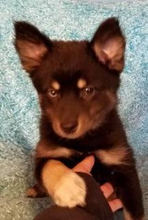 Pomsky PUPPY FOR SALE ADN-76788 - 10 week old Pomsky Pups