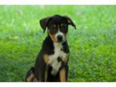 Adopt Pupper #4-Girl a Tricolor (Tan/Brown & Black & White) Labrador Retriever /