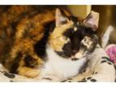 Adopt Jenny a Calico or Dilute Calico Calico (short coat) cat in Colmar